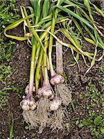 High angle view of garlic Stock Photo - Premium Royalty-Freenull, Code: 6102-07158310