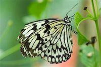 Paper kite butterfly (Idea leuconoe) Stock Photo - Premium Royalty-Freenull, Code: 632-07161389