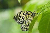 Paper kite butterfly (Idea leuconoe) Stock Photo - Premium Royalty-Freenull, Code: 632-07161392