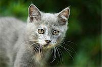 Kitten, portrait Stock Photo - Premium Royalty-Freenull, Code: 632-07161587