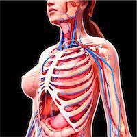 Female anatomy, computer artwork. Stock Photo - Premium Royalty-Freenull, Code: 679-07162256