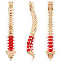 spinal column - Human spine, computer artwork. Stock Photo - Premium Royalty-Freenull, Code: 679-07162271