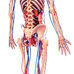 Human cardiovascular system, computer artwork.