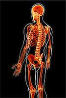 spinal column - Male skeleton, computer artwork. Stock Photo - Premium Royalty-Freenull, Code: 679-07163547