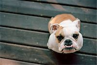 Bulldog Stock Photo - Premium Rights-Managed, Artist: Mick Ritzel, Code: 700-07199600