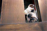 Bulldog Stock Photo - Premium Rights-Managednull, Code: 700-07199601