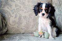 sweet   no people - Dog Sitting on Sofa Stock Photo - Premium Rights-Managednull, Code: 700-07199603