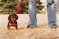 King Charles Spaniel Puppy Stock Photo - Premium Rights-Managednull, Code: 700-07199651