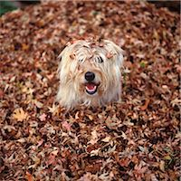 pile leaves playing - DOG COVERED IN LEAVES UP TO HIS HEAD Stock Photo - Premium Rights-Managednull, Code: 846-07200091