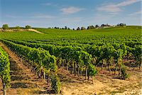 Vineyard, Preignac, Gironde region of France. The vineyard is in the grounds of the Chateau de Malle. Stock Photo - Premium Rights-Managednull, Code: 841-07201718