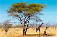 Adult giraffes, Serengeti, Tanzania Stock Photo - Premium Rights-Managednull, Code: 841-07201791