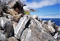 Swallow-tailed seagull and Marine iguana perched on rocks, Galapagos Islands, Ecuador Stock Photo - Premium Rights-Managednull, Code: 841-07201831