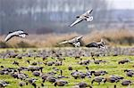 Migrating Pink-Footed geese over-wintering on marshland at Holkham, North Norfolk coast, East Anglia, Eastern England Stock Photo - Premium Rights-Managed, Artist: Robert Harding Images, Code: 841-07201872