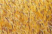 Barley field in Norfolk, United Kingdom Stock Photo - Premium Rights-Managed, Artist: Robert Hardin