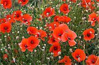 stamen - Poppy field, Cotswolds, United Kingdom Stock Photo - Premium Rights-Managednull, Code: 841-07202041
