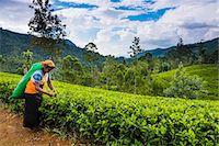 farmhand (female) - Tea picker in a tea plantation in the Hill Country, Sri Lanka's Central Highlands, Nuwara Eliya District of Sri Lanka, Asia Stock Photo - Premium Rights-Managednull, Code: 841-07204251