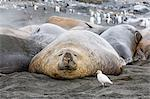 Southern elephant seals (Mirounga leonina), annual catastrophic molt, Gold Harbour, South Georgia, South Atlantic Ocean, Polar Regions Stock Photo - Premium Rights-Managed, Artist: Robert Harding Images, Code: 841-07204329