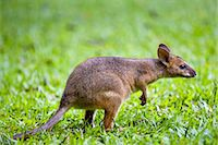 Red-legged Pademelon in the rainforest, Daintree, Queensland, Australia Stock Photo - Premium Rights-Managed, Artist: Robert Harding Images, Code: 841-07204929