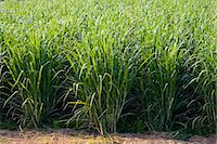 Sugar cane paddock, Freshwater Connection, Australia Stock Photo - Premium Rights-Managednull, Code: 841-07204980