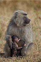 Olive baboon (Papio cynocephalus anubis) nursing, Serengeti National Park, Tanzania, East Africa, Africa Stock Photo - Premium Rights-Managednull, Code: 841-07205509