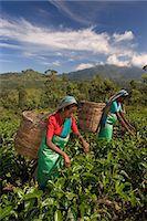 farmhand (female) - Women picking tea on Tea Plantation, Nuwara Eliya, Hill Country, Sri Lanka, Asia Stock Photo - Premium Rights-Managednull, Code: 841-07205741