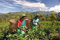 farmhand (female) - Women picking tea on Tea Plantation, Nuwara Eliya, Hill Country, Sri Lanka, Asia Stock Photo - Premium Rights-Managednull, Code: 841-07205742