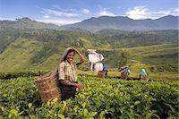 farmhand (female) - Women picking tea on Tea Plantation, Nuwara Eliya, Hill Country, Sri Lanka, Asia Stock Photo - Premium Rights-Managednull, Code: 841-07205743