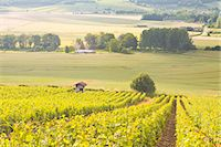 Champagne vineyards in the Cote des Bar area of Aube, Champagne-Ardennes, France, Europe Stock Photo - Premium Rights-Managednull, Code: 841-07206579