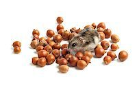 hamster sits surrounded by acorns on white background Stock Photo - Royalty-Freenull, Code: 400-07217356