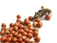 hamster sits surrounded by acorns on white background Stock Photo - Royalty-Freenull, Code: 400-07217357