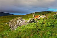 Young deer in the meadow at Scottish highlands, Scotland, United Kingdom Stock Photo - Royalty-Free, Artist: martinm303, Code: 400-07219251