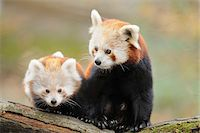 Red Panda (Ailurus fulgens) Mother with Young on bough, Bavaria, Germany Stock Photo - Premium Rights-Managednull, Code: 700-07237865