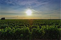 Vineyard, Veglie, Lecce, Puglia, Italy Stock Photo - Premium Royalty-Freenull, Code: 649-07239054