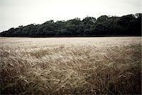 Wheat field in breeze Stock Photo - Premium Royalty-Freenull, Code: 649-07239170