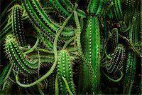 Cacti, close up Stock Photo - Premium Royalty-Freenull, Code: 649-07279731