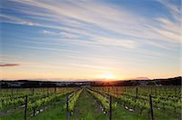 Wide angle view of young vineyards under a colorful sunset sky. Stellenbosch, Western Cape, South Africa. Stock Photo - Premium Royalty-Freenull, Code: 682-07281151