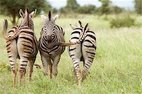 Three zebra (equus burchelli) standing with rear view and front view. Kruger national Park, South Africa. Stock Photo - Premium Royalty-Freenull, Code: 682-07281359