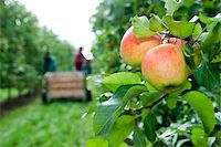 farmhand (female) - Apples on tree in foreground with farmers harvesting in background, Germany Stock Photo - Premium Royalty-Freenull, Code: 600-07288013