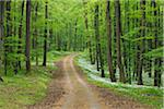 Dirt Road with Ramsons (Allium ursinum) in European Beech (Fagus sylvatica) Forest in Spring, Hainich National Park, Thuringia, Germany