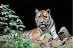 Portrait of Siberian Tiger (Panthera tigris altaica) in Zoo, Nuremberg, Bavaria, Germany