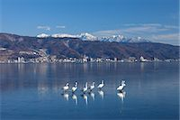 Swans, Japan Stock Photo - Premium Rights-Managed, Artist: Aflo Relax, Code: 859-07310600