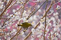 Japanese White Eye Stock Photo - Premium Rights-Managednull, Code: 859-07310658