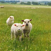 Sheep Stock Photo - Premium Rights-Managednull, Code: 859-07310689