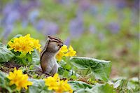 scenic and spring (season) - Tamias Sibiricus Lineatus Stock Photo - Premium Rights-Managednull, Code: 859-07310707