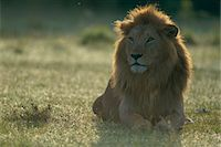 Lion Stock Photo - Premium Rights-Managed, Artist: Aflo Relax, Code: 859-07310854