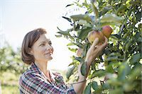 farmhand (female) - A woman in a plaid shirt picking apples in the orchard at an organic fruit farm. Stock Photo - Premium Royalty-Freenull, Code: 6118-07353019