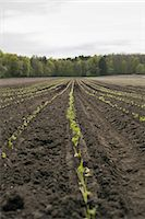 plow - An open field, with ploughed earth. Seedlings growing in rows. Stock Photo - Premium Royalty-Freenull, Code: 6118-07354133
