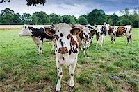 Brown and white French Normandy cow with herd of cattle in a meadow in rural Normandy, France Stock Photo - Premium Rights-Managed, Artist: Robert Harding Images, Code: 841-07354844