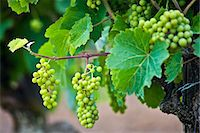 Green grapes ripening on grapevine in vineyard in the Dordogne, France Stock Photo - Premium Rights-Managednull, Code: 841-07354868