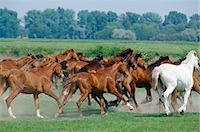 Herd of wild horses on the Great Plain of Hungary at Bugac, Hungary Stock Photo - Premium Rights-Managed, Artist: Robert Harding Images, Code: 841-07354916